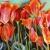 "Tulip mound, 24""x36"", acrylic on canvas, © Donna Grandin. $1200."